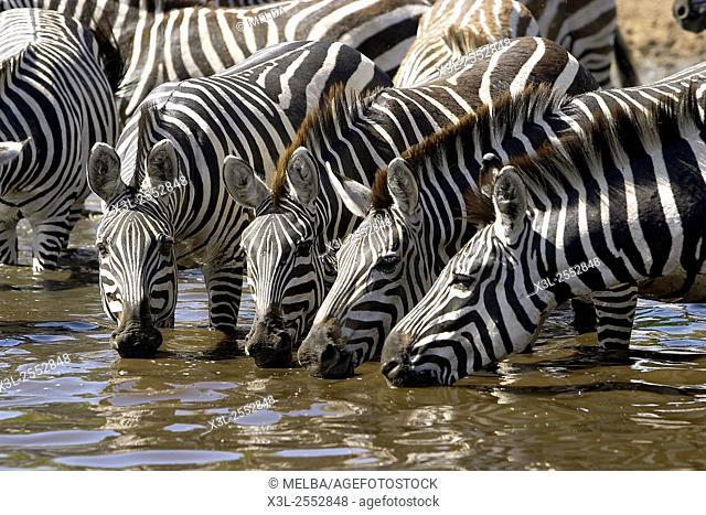 Grant zebras. Equus quagga boehmi. Serengeti National Park. Tanzania. Africa