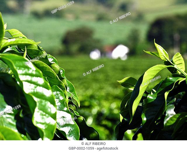 Farm, coffee, Poços de Caldas, Minas Gerais, Brazil
