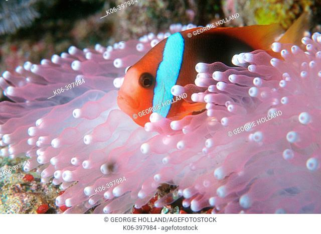 Red and Black Anemonefish (Amphiprion melanopus) in Sea Anemone. Similan Islands. Andaman Sea. Thailand. Indian Ocean