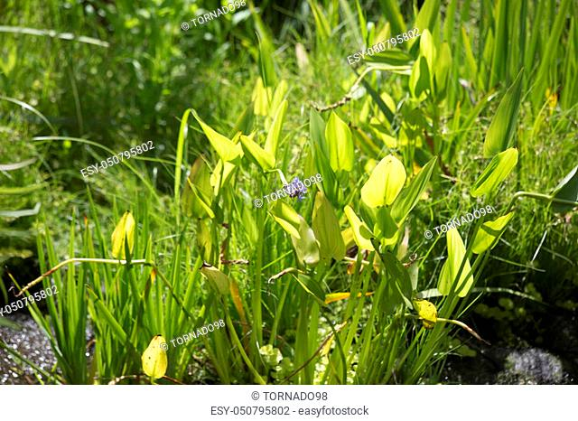 Overgrowth of invasive pickerel weed stalks and flowers