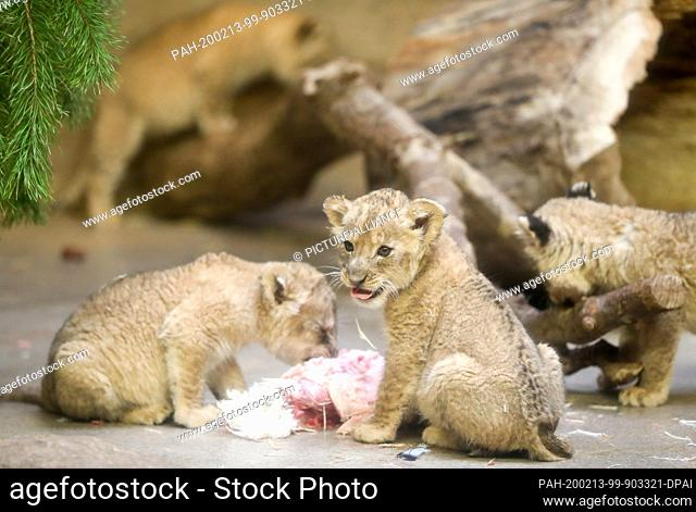 13 February 2020, Saxony, Leipzig: The five baby lions (two tomcats and three cats) will be presented to visitors for the first time