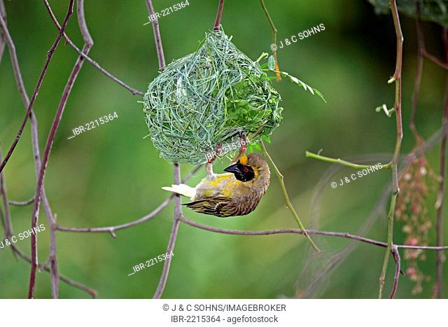 Southern Masked Weaver (Ploceus velatus), male on a nest, Oudtshoorn, Little Karoo, South Africa, Africa