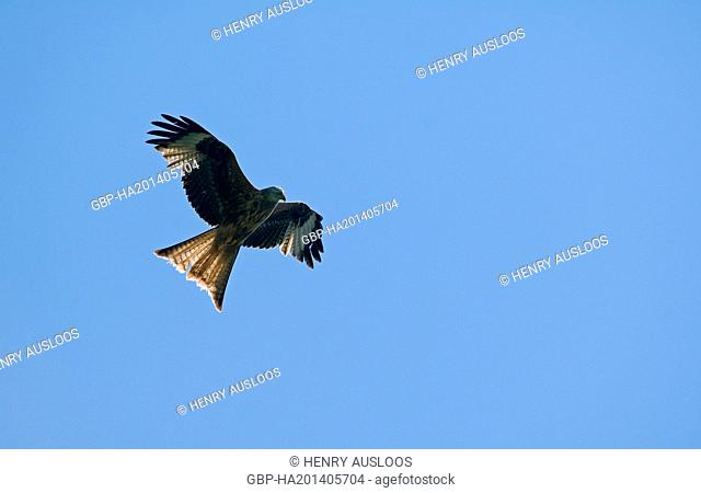 Red Kite, Milvus migrans, flight