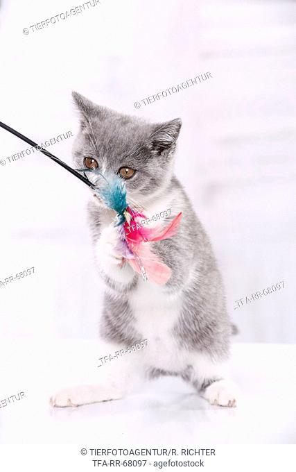 playing British Shorthair Kitten