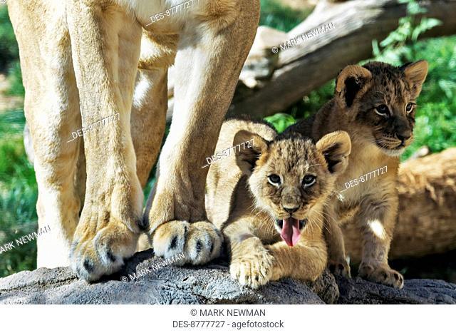 Lion cub (panthera leo), Reid Park Zoo; Tucson, Arizona, United States of America