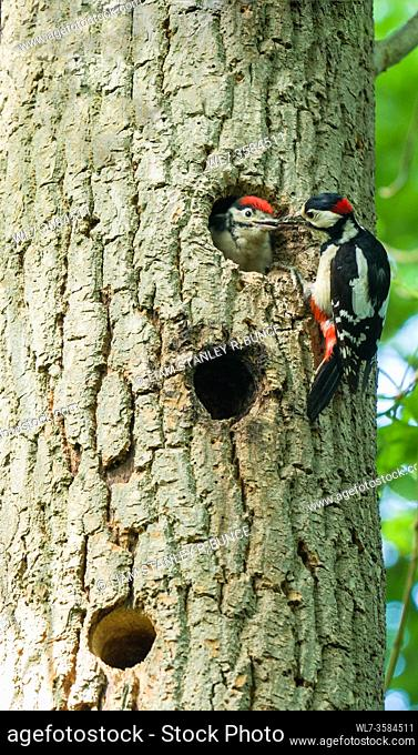 Male Great spotted woodpecker (Dendrocopos major) feeding nestling. Woolhope Herefordshire UK. May 2020