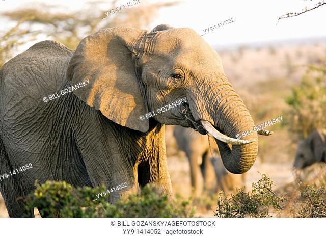 African Elephant - El Karama Ranch, Laikipia Region, Kenya