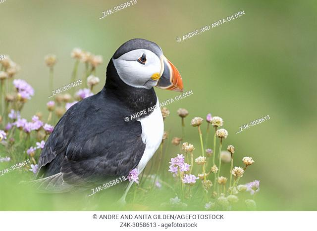 Atlantic Puffin (Fratercula arctica) adult, portrait amongst flowering sea thrift, Great Saltee, Saltee Islands, Ireland