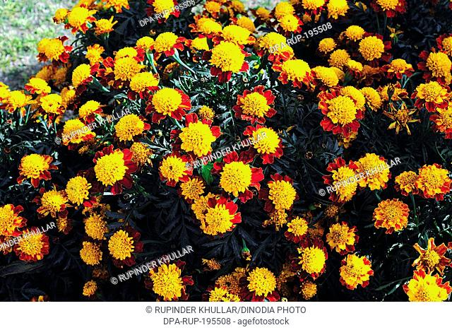 Marigold flower, india, asia