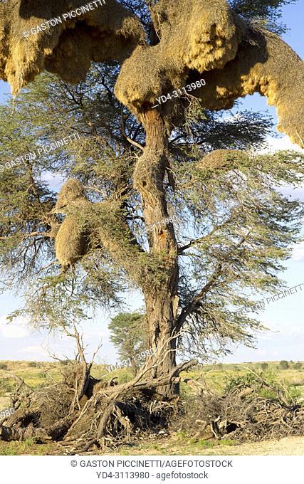Huge communal nest of Sociable Weavers (Philetairus socius) in a camelthorn tree (Acacia erioloba). Kalahari Desert, Kgalagadi Transfrontier Park, South Africa