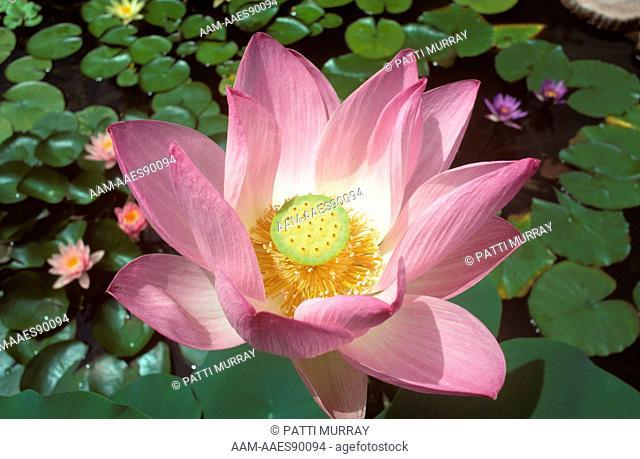 Lotus - Charles Thomas (Nelumbo nucifera) Somerset, NJ backyard pond