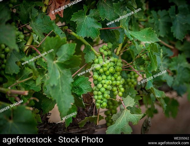 Young grapes start growing during spring. The vineyards of the historical South African Vineyard, Groot Constantia in the Constantia Valley, of Cape Town