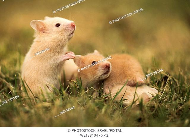 Pet golden hamster or Syrian hamster, Mesocricetus auratus with her young litter on the lawn. Photographed in captivity