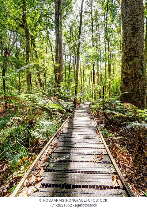 Boardwalk amoung the Kauri trees in Trounson Kauri Park to avoid people damaging the tree roots, Northland, New Zealand