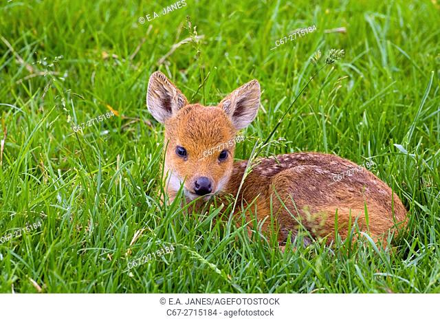 Chinese Water Deer Hydropotes inermis Fawn