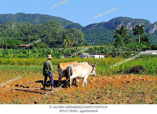 Plowing with oxen.Viñales Valley.Pinar del Río province.Cuba