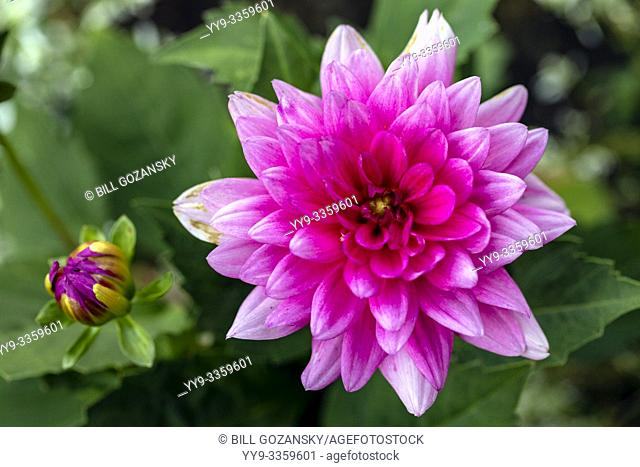 Dahlia species - Butchart Gardens - Brentwood Bay, near Victoria, Vancouver Island, British Columiba, Canada