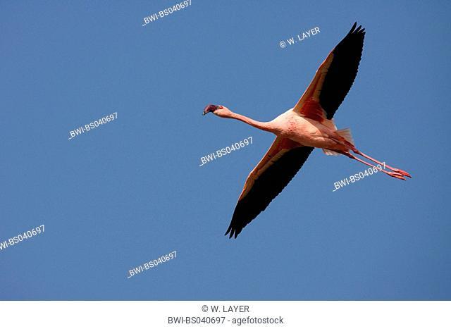 lesser flamingo (Phoenicopterus minor), flying, Kenya, Lake Nakuru National Park