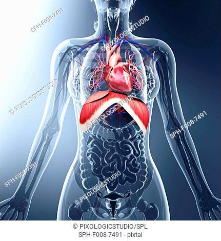 Human respiratory system, computer artwork