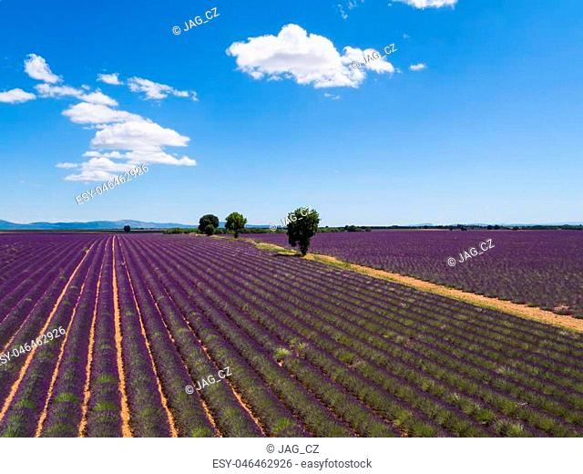 Beautiful landscape of blooming lavender field with sunny sky, lonely trees uphill on horizon. Provence, France, Europe