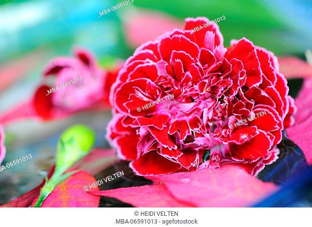 Carnation blossom, close up, still life