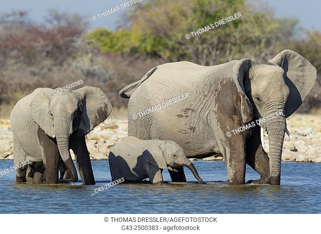 African Elephant (Loxodonta africana) - Cow with two different aged calves at a waterhole. Etosha National Park, Namibia