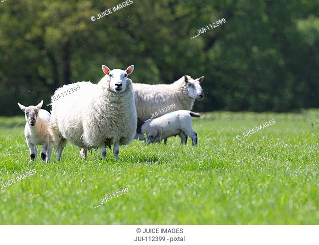 Portrait of sheep and lambs in sunny green spring field