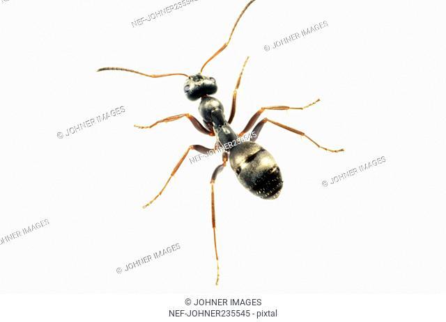 Ant on white background