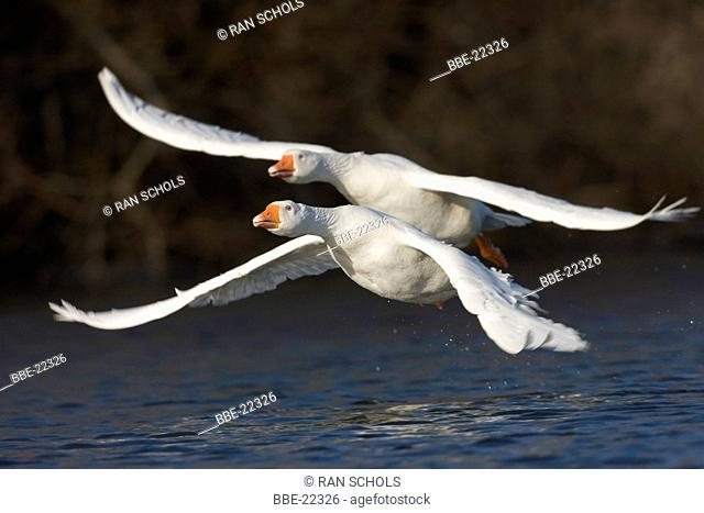 Couple of flying domestic geese