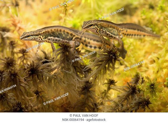 Palmate Newt (Lissotriton helveticus) two males, The Netherlands, Limburg, Meinweg National Park