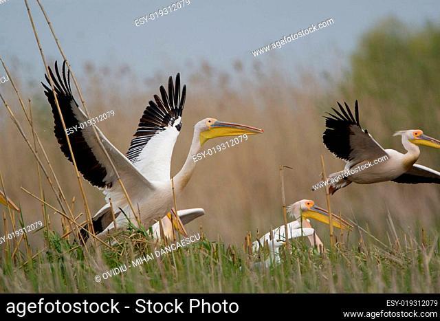 Pelicans In The Danube Delta Reserve
