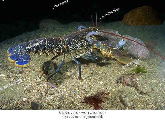 Common lobster (Homarus gammarus) defending of the octopus attack (Octopus vulgaris). Eastern Atlantic. Galicia. Spain. Europe