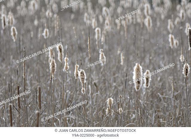 Typha latifolia,broadleaf cattail, bulrush, common bulrush,fruits, Alba de Tormes, Salamanca,Castilla y Leon,Spain