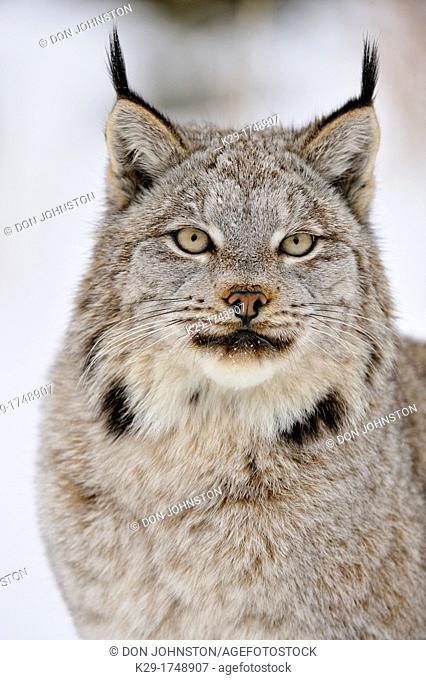 Canada lynx Lynx canadensis, Bozeman, Montana, USA