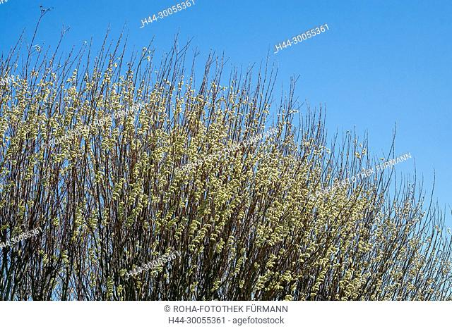Bayern, Oberbayern, Berchtesgadener Land, Natur, Baum, Weide, Weidenkätzchen, Weidenkaetzchen, Palmkätzchen, Palmkaetzchen, Himmel, blauer Himmel, Frühling