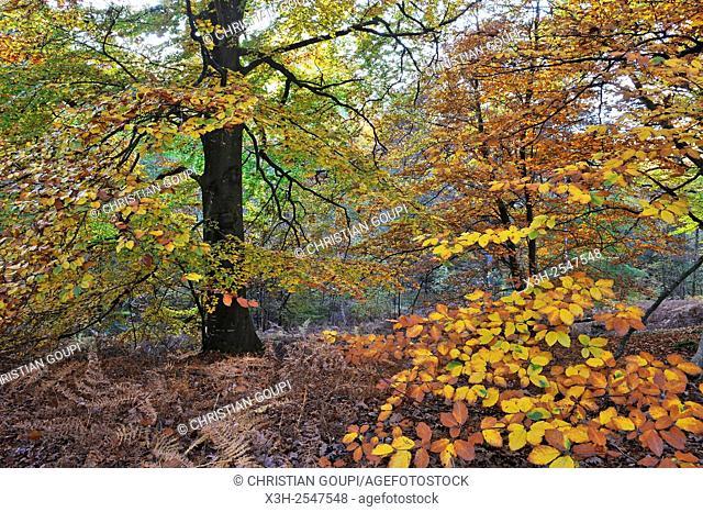 Forest of Rambouillet, Yvelines department, Ile-de-France region, France, Europe