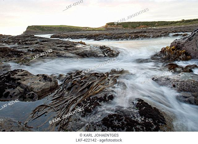blocked for illustrated books in Germany, Austria, Switzerland: Bull kelp seaweed on rocks at high tide, Curio Bay, Catlins, South Island, New Zealand
