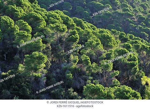 Typical Mediterranean pine forest, Tossa de Mar, Catalonia, Spain, Europe