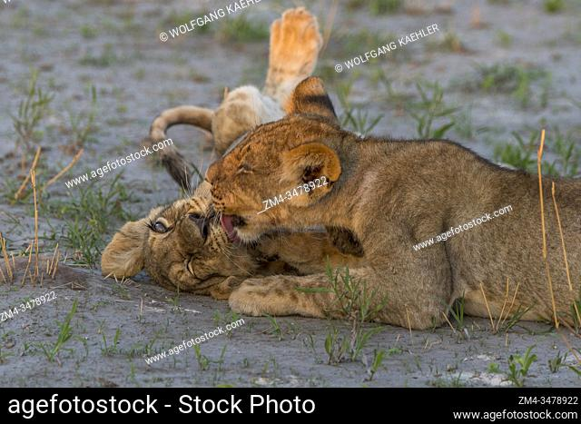 After feeding on a warthog the about 6 months old lion cubs (Panthera leo) are full and happy and start playing and licking each other in the Gomoti Plains area