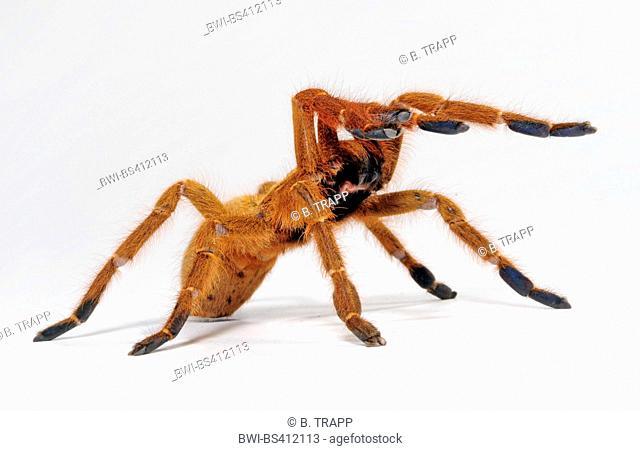Orange baboon tarantula, Mombasa golden starburst tarantula (Pterinochilus murinus, Pterinochilus mamillatus), in defence posture, cut-out