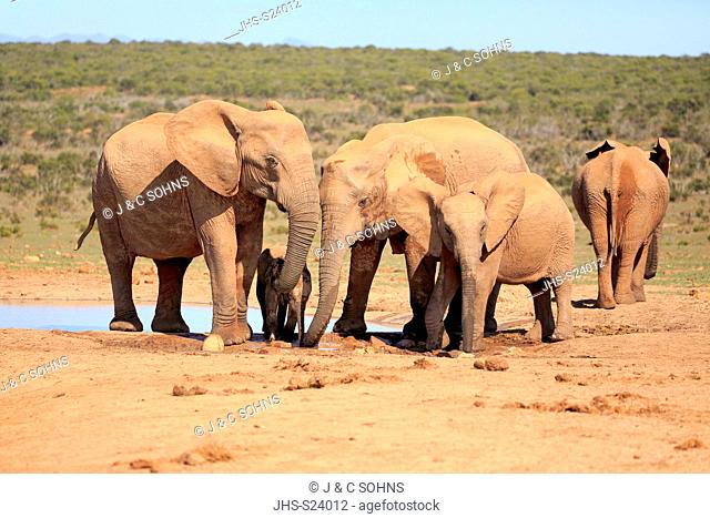 African Elephant, (Loxodonta africana), adults and youngs at waterhole drinking and bathing, Addo Elephant Nationalpark, Eastern Cape, South Africa, Africa