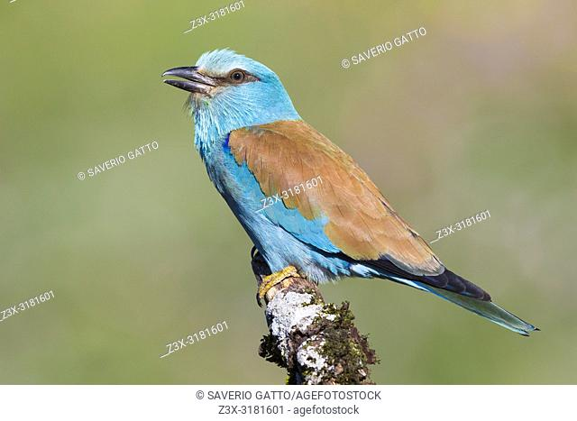 European Roller (Coracias garrulus), side view of an adult perched on a branch