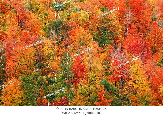 Fall colored hardwood forest on hillside, near Norton Pond, northeast Vermont, USA