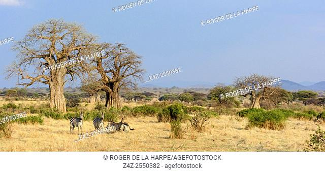 Plains zebra (Equus quagga, formerly Equus burchellii) and Baobab trees (also called dead-rat tree (from the appearance of the fruits)
