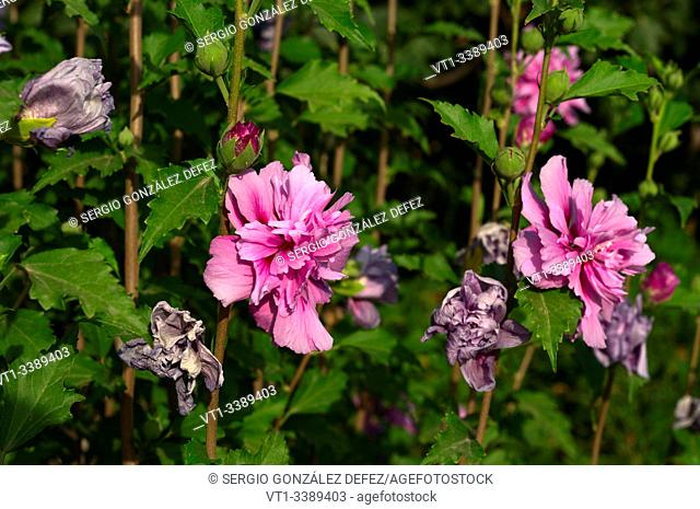 Hibiscus syriacus is a species of flowering plant in the mallow family, Malvaceae. It is native to south-central and southeast China