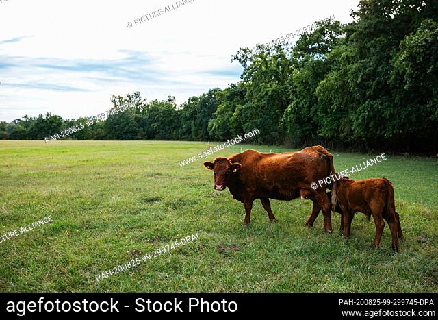 19 August 2020, Baden-Wuerttemberg, Kappel-Grafenhausen: One cow and two calves are standing in a pasture while the calves suckle at the teats of the cow