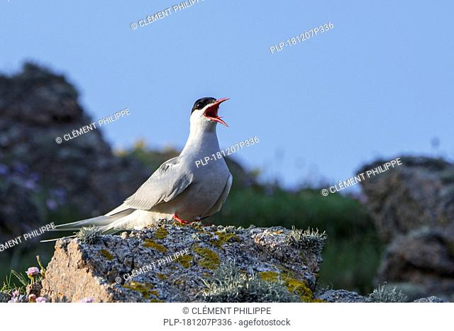 Arctic tern (Sterna paradisaea) calling from rock on the shore, Scotland, UK