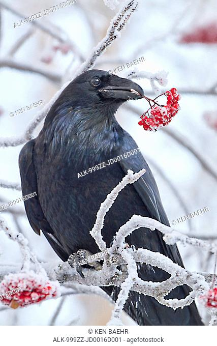 Close up of a raven with Mountain Ash berries in its beak, Anchorage, Southcentral Alaska, Winter