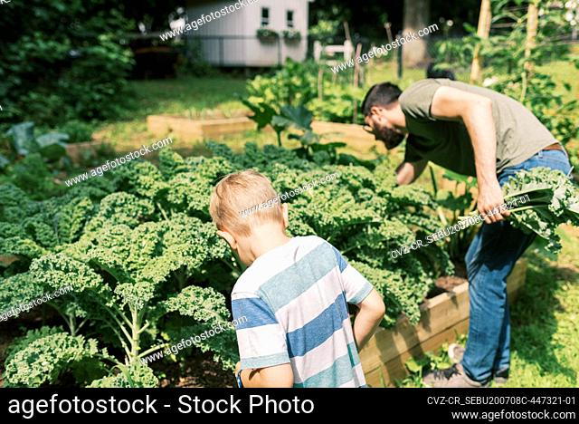 A father and son harvesting kale for dinner