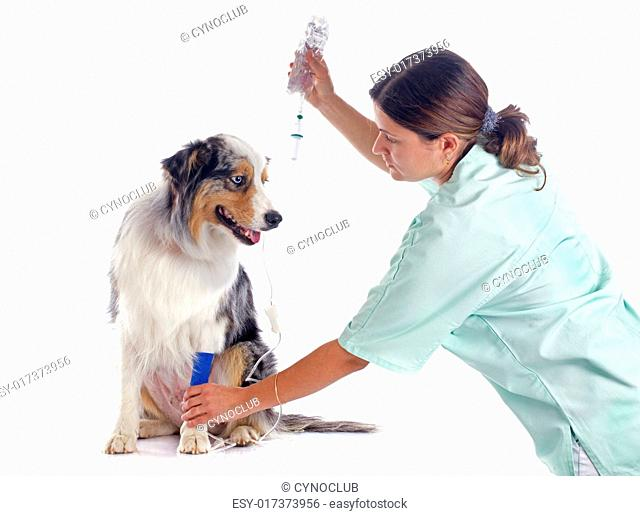 australian shepherd and perfusion in front of white background